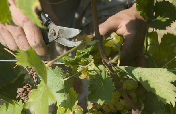 Harvesting our moscato grapeas - www.stayinpiedmont.com