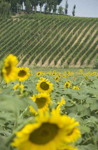 Vineyards and sunflowers - www.stayinpiedmont.com
